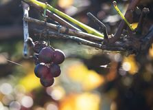 Overripe the grapes on the branches. Autumn.  stock images