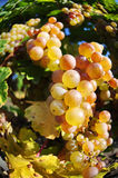 Overripe grapes Royalty Free Stock Images