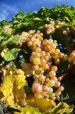Overripe grapes Stock Image