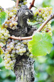 Overripe grapes Royalty Free Stock Photo