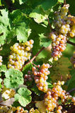 Overripe grapes Royalty Free Stock Photography