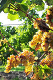Overripe grapes Stock Images