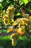 Overripe grapes Stock Photo