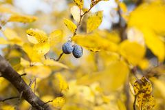 Overripe plums in tree. At autumn royalty free stock photography