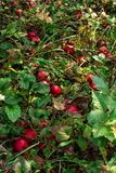 Overripe red apples lying on the ground stock images