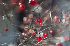Overriped red berries and fragile twigs of guelder rose (viburnu Stock Photo