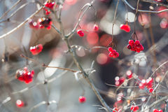 Overriped red berries and fragile twigs of guelder rose (viburnu Royalty Free Stock Photo