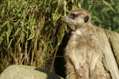 Overseer. A suricate at the look-out in the zoo Dortmund, Germany stock photography