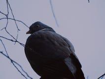 Overshoulder del Woodpigeon Immagini Stock