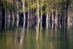 Overstroming aan de boom Cajeput Stock Fotografie