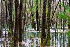 Overstroomd Bos Stock Afbeeldingen