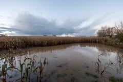 Overstroomd Graangebied in Oost-Vlaanderen stock afbeelding