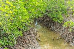 Overstroomde bomen in provincie van mangrove de bosphetchaburi thailand Royalty-vrije Stock Fotografie