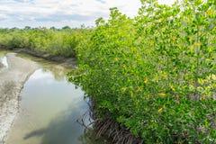 Overstroomde bomen in provincie van mangrove de bosphetchaburi thailand Stock Afbeeldingen