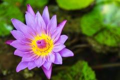 Overtreed lotusbloem Royalty-vrije Stock Foto's