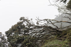Overturn tree. On mountain with fog Royalty Free Stock Photos