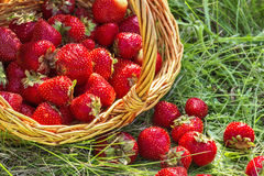 Overturned basket of strawberries close up Royalty Free Stock Images