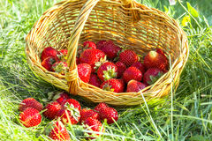 Overturned basket of strawberries in the grass Stock Image