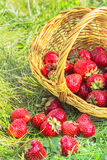 Overturned basket of strawberries in the green grass Stock Photos
