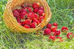 Overturned basket of strawberries in the summer grass Stock Photo