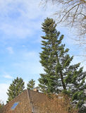 Overturned fir tree, leaning on house roof Stock Image