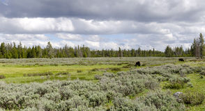 Overview with bison in Yellowstone Royalty Free Stock Photography