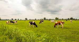 Overview of black and red spotted cows grazing in the Dutch mead Stock Image
