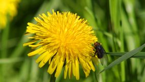 Dandelion with a fly. Overview of a dandelion in a field among grass with a fly stock footage