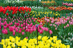 Overview of differently colored tulips growing in Keukenhof, Net Royalty Free Stock Photos