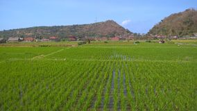 Overview of flower fields in Bali.Overview of rice paddies in Bali. royalty free stock photography
