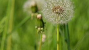 Field with dandelions stock footage