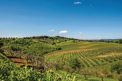 Overview of olive trees and hills with villa at the top in the Tuscan countryside. Stock Image