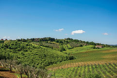 Overview of olive trees and hills with villa at the top in the Tuscan countryside. Royalty Free Stock Image