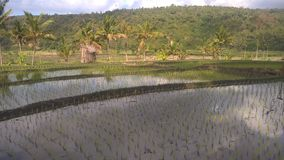 Overview of rice paddies in Bali. royalty free stock images