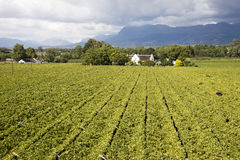 Overview of a vineyard South Africa stock image