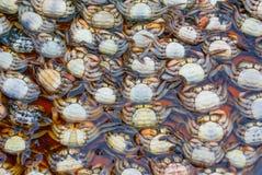 Overvloed van kleine ruwe kleurrijke krabben stock afbeelding