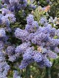 Overvloed van purpere bloemen stock fotografie