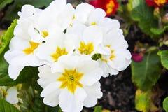 Overvloed van witte bloemen royalty-vrije stock afbeelding