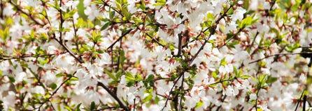 Overvloedig bloeiende kers in de heldere zon stock foto's