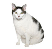 Overweight Cat royalty free stock image