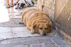 Overweight Dog Lying on Pavement stock photos