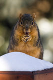 Overweight Fox Squirrel  Eating A Nut Royalty Free Stock Image