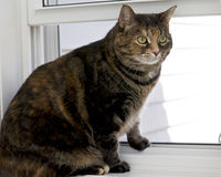 Overweight House Cat. A handsome female tortoiseshell cat with intense green eyes and white markings stares out of a window Stock Images