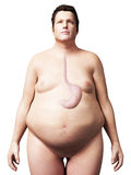 Overweight man - stomach Stock Image