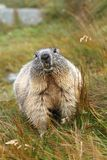 Overweight marmot Royalty Free Stock Photo