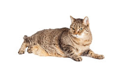 Overweight Mixed Breed Tabby Cat Laying Royalty Free Stock Photo