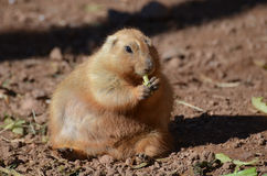 Overweight Prairie Dog Enthusiastically Eating Some Greens. A very chubby prairie dog eating some greens Royalty Free Stock Photos