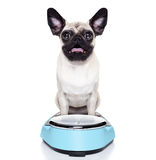 Overweight pug dog. Shocked and surprised pug dog about his weight on a scale Royalty Free Stock Photography