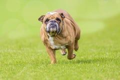 Overweight running bulldog Stock Photos