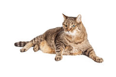 Overweight Tabby Cat Laying Royalty Free Stock Images